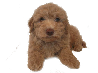 Mini Goldendoodle Puppies for Sale | Mini Golden Doodle