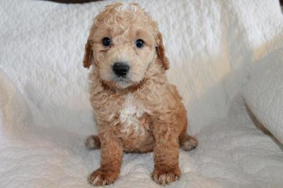 New Puppies | Mini Golden Doodle Puppies | Knoxville TN